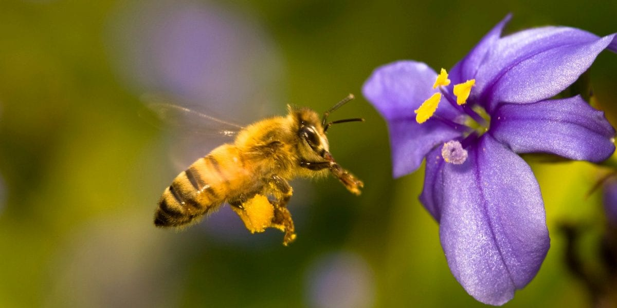 bees-flower