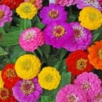zinnia-flowers-mixed-flowers