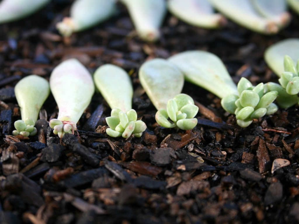 Propagate-Succulents