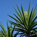 Yucca blue sky